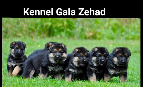 Gala-Zehad